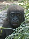 Gorilla Merchandise