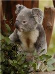 Koala Bear 7