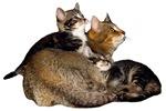Kissat - Cats