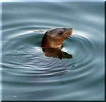 Sea Lion At Play