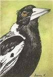 BIRDS - 'AUSTRALIAN MAGPIE'