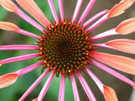 Sunset Echinacea