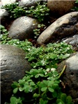 Rocks and Clovers