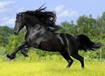 Black Horse in Yellow Field