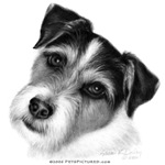 Jack (Parson) Russell Terrier