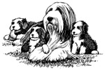 Bearded Collie, mother and pupps