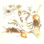 Trantula & Ants in Guava Tree Marian 1762 Remaster
