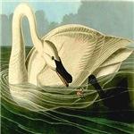 Trumpeter Swan Feeding in Wake