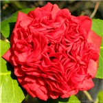 Camellia (Chinese Rose)