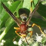 Wasp Feeding