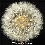 Dandelion by Terry Lynch