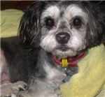 Shih-tzu, maltese terrier, llaso-apso gifts
