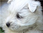 Westie T-Shirts, Apparel & Gifts.