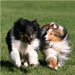 Best Friends Shelties