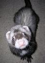 Fuzzy Ferrets
