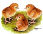 Red Leghorn Chicks
