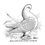 Berlin Shortfaced Tumbler Pigeon