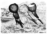 Brunner Pouter Pigeons