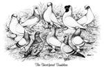 Shortface Tumbler Pigeons