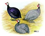 Guineas Purple, Coral Blue and Lavender