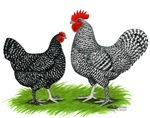 Marans Rooster and Hen