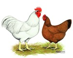 Red Sex-link Chickens