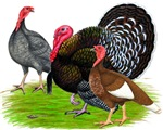 Assorted Turkeys