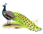 India Peacock