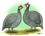 French Guineafowl