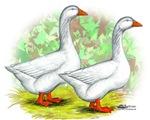 Embden Goose Pair