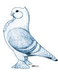 Classic Frill Pigeon