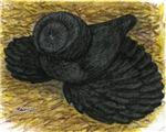 Black Bokhara Pigeon