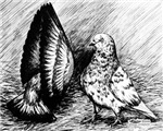 Parlor Roller Pigeons