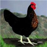 Sex-link Hen