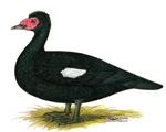 Black Muscovy Duck