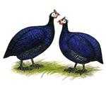 Royal Purple Guineas
