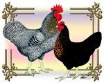 Black SL Chickens