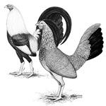 American Game Fowl2