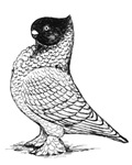 Blondinette Pigeon