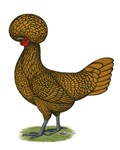 Polish:  Gold-laced Hen