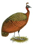 Congo Peahen