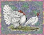 White Holland Turkeys