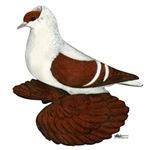 Red Fullhead Swallow Pigeon