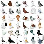 36 Pigeons
