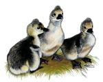 Tufted Toulouse Goslings