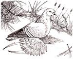 Saxon Field Pigeon