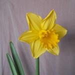 Daffodil Gifts