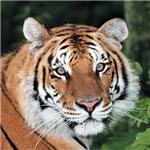 Tiger face 3