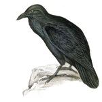 Black Crow - Raven