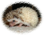 Pretty Pinto Hedgehog